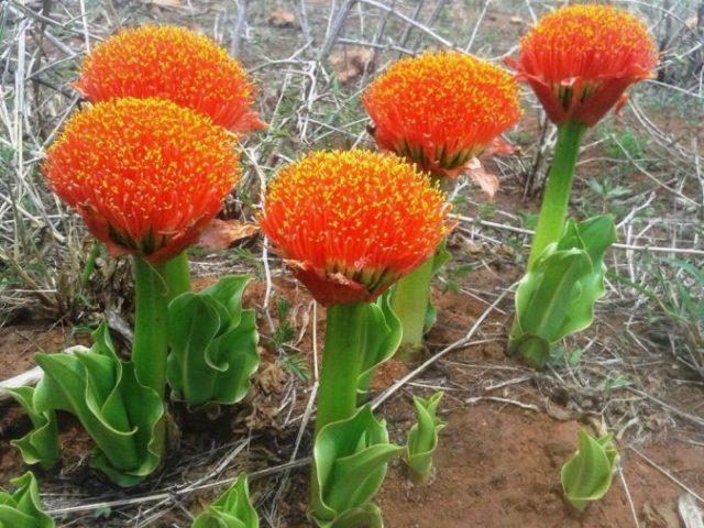 цветок гемантус