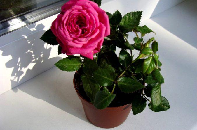 цветок роза на подоконнике