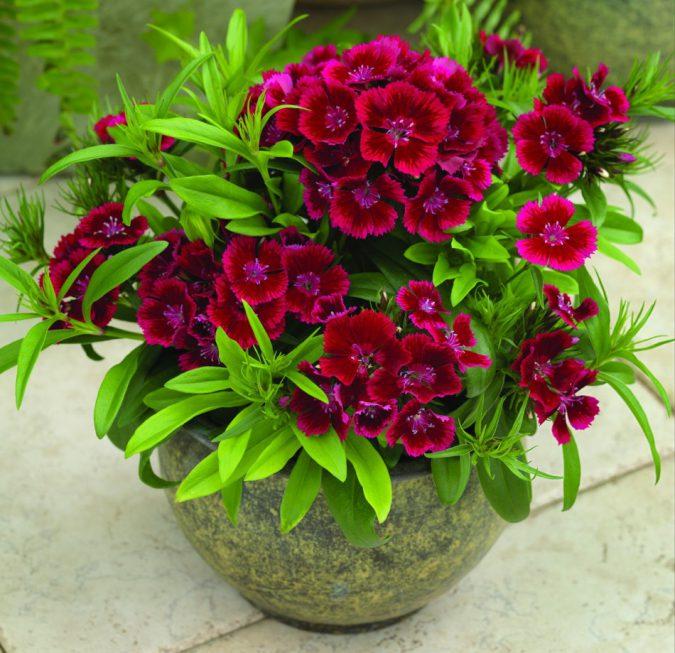 Турецкая гвоздика, фото цветов