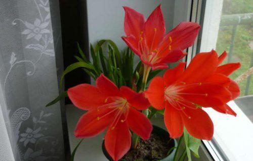 цветок валлота прекрасная