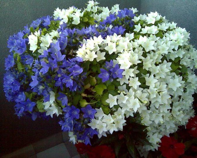 """цветок """"Жених и невеста"""" (кампанула)"""