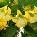 бругмансия цветок
