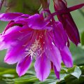 эпифиллум цветок