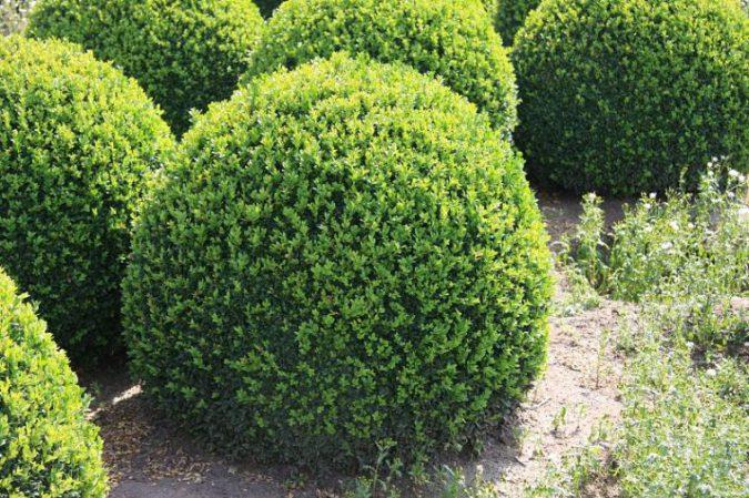 фото кустарника самшита