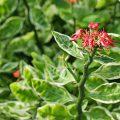 цветок педилантус титималоидный