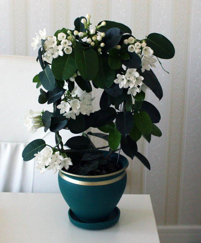 цветок стефанотис флорибунда