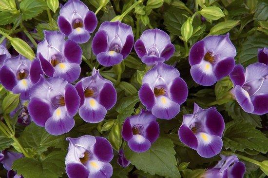 Торения цветы выращивание и уход 25