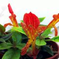 цветок колумнея