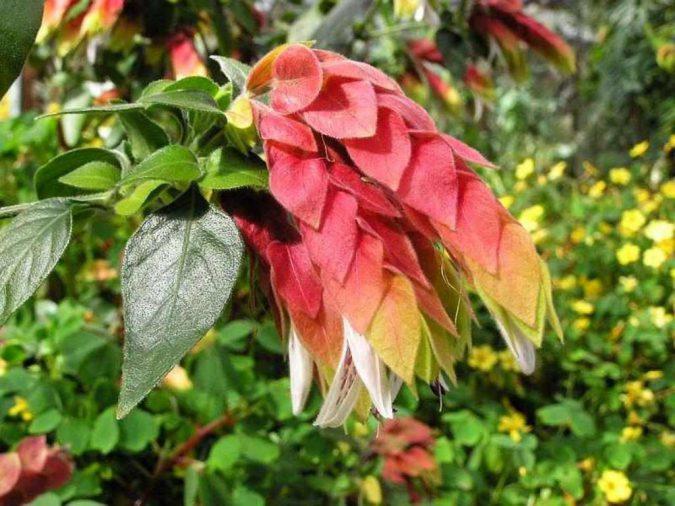 цветок белопероне капельная