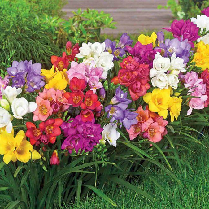 цветок фрезия в открытом грунте