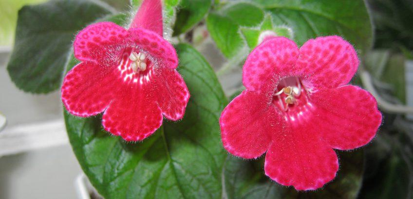 цветок колерия