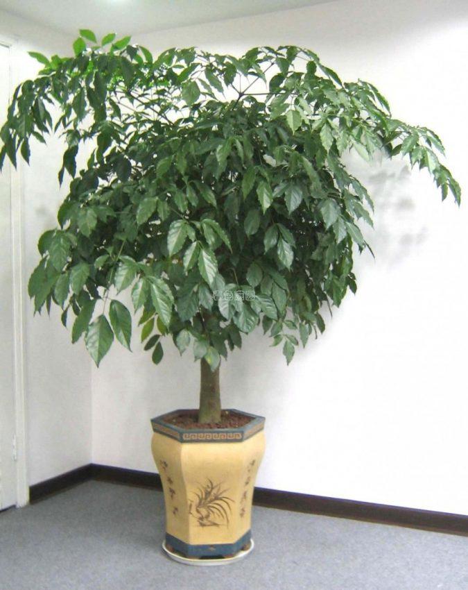 цветок радермахера китайская