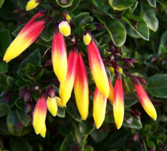 якобиния малоцветковая
