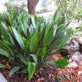цветок аспидистра