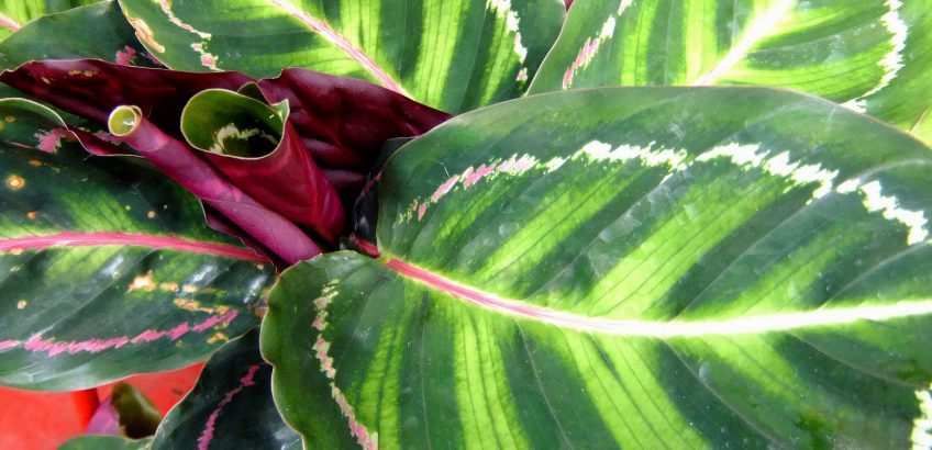калатея цветок