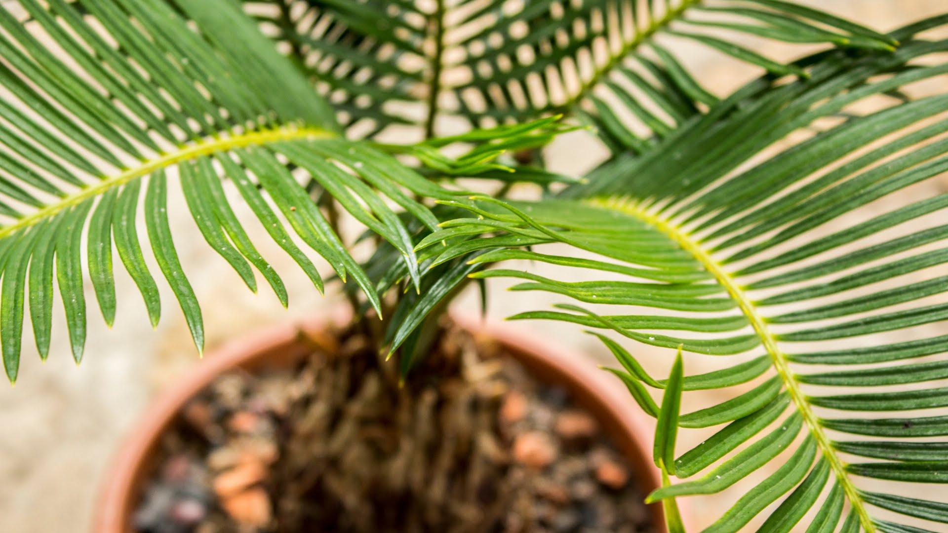 Как делать пальму в домашних условиях