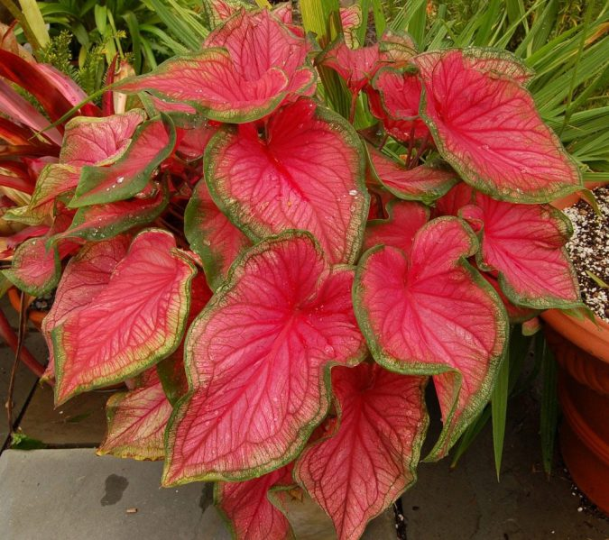 цветок каладиум
