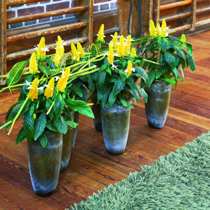 цветок пахистахис