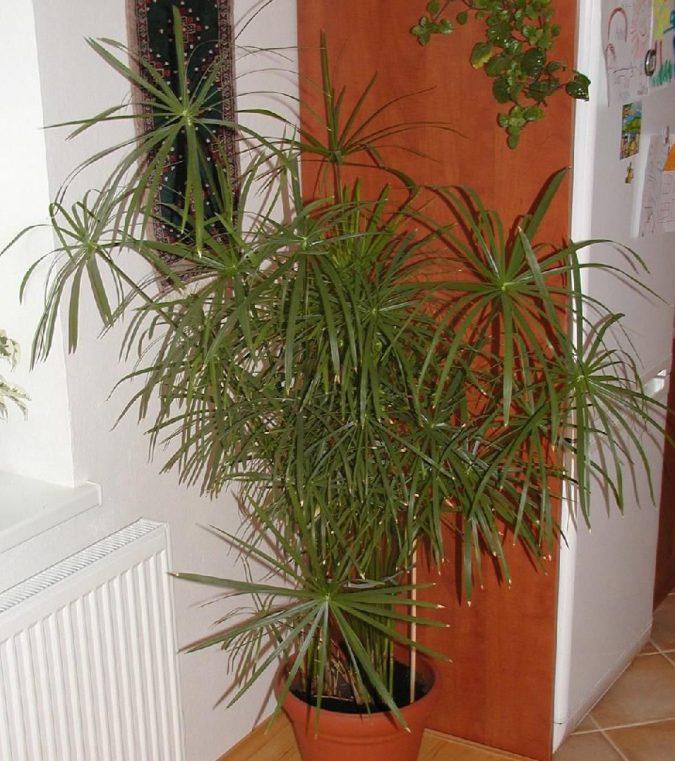 Цветок циперус уход в домашних условиях фото