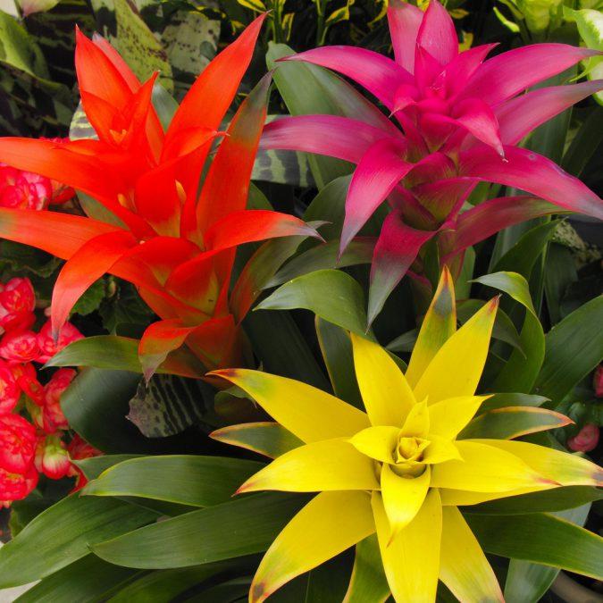 цветок вриезия