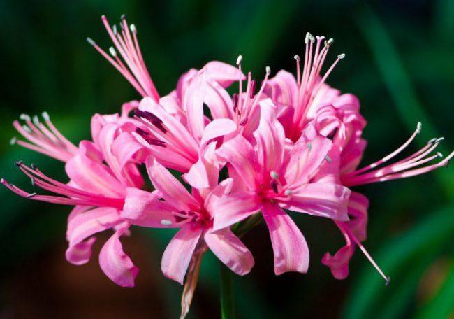 цветок нерине