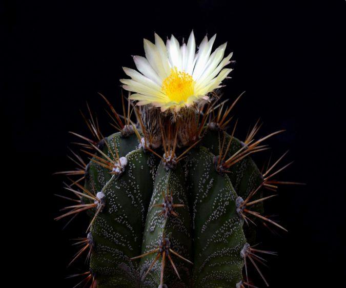 растение астрофитум украшенный