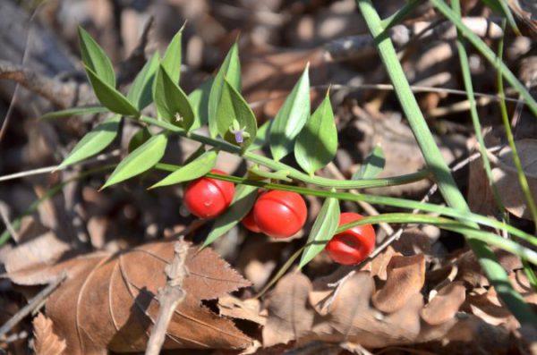 Растение иглица