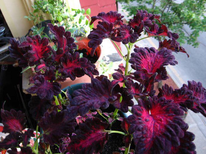 цветок колеус Черный дракон