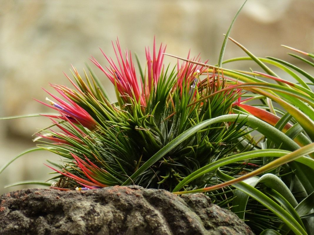 цветок тилландсия картинки плод совместного творчества