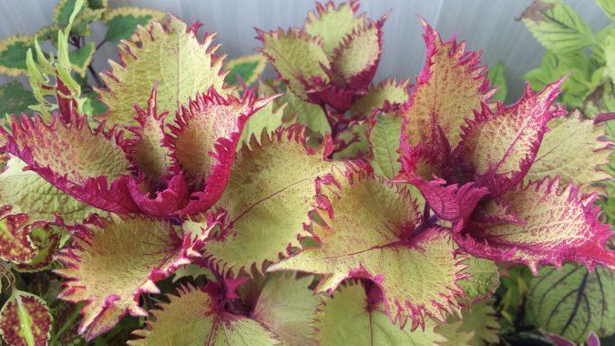 Колеус блюме фото цветы