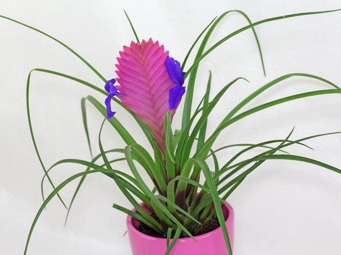 цветок тилландсия