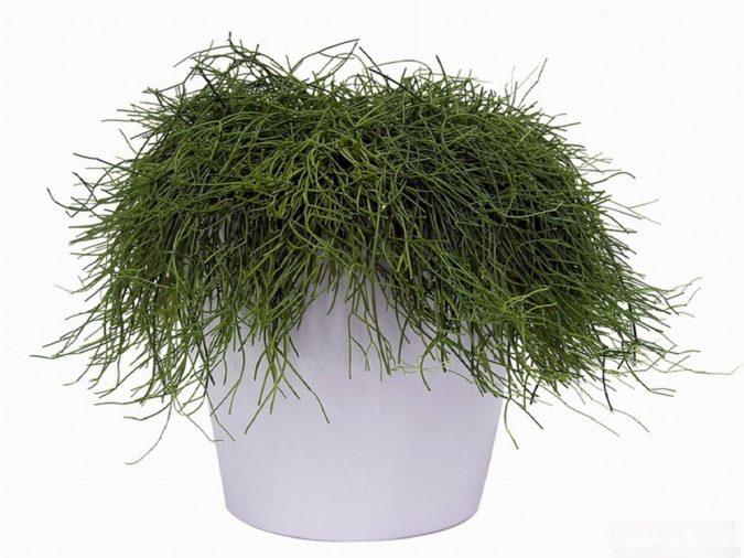 Цветок рипсалис волосовидный