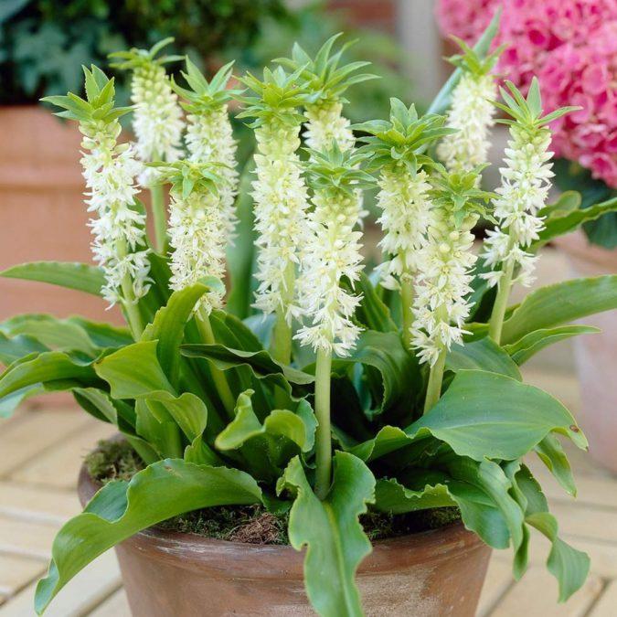 цветок эукомис