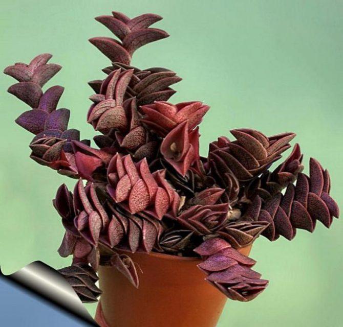 цветок каллизия ладьевидная
