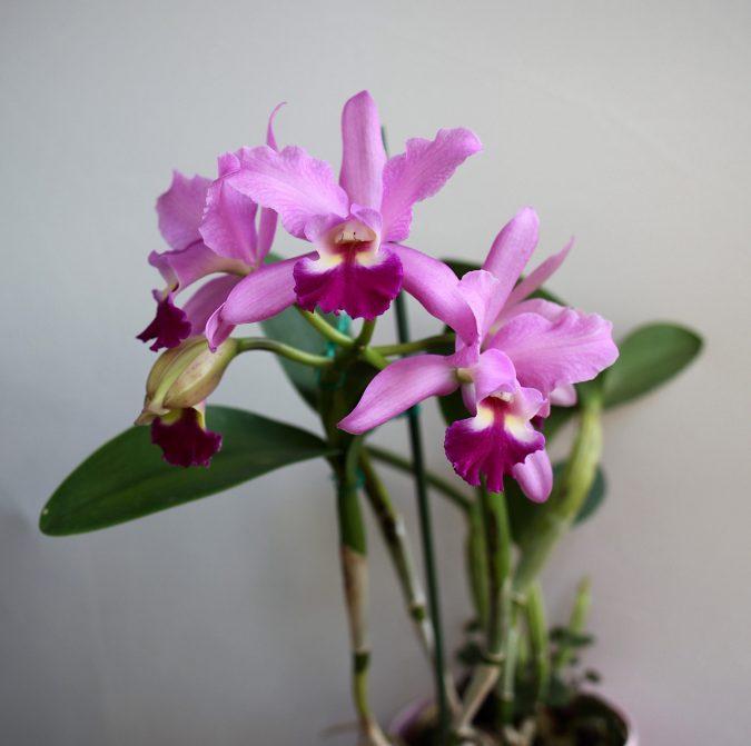 цветок каттлея