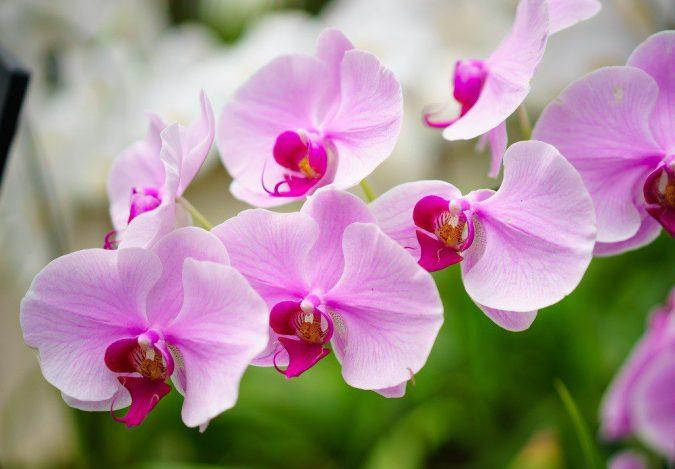 цветок орхидея цимбидиум